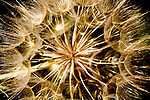 Aster, Orange Agoseris in seed.  Appearance much like a common dandelion but much larger.  Agoseris aurantiaca.  Photogaphed in the Palouse region of Washington State.