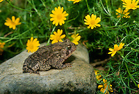 American toad, Bufo Americanus, sitting on a rock beside yellow Dahlberg daisies