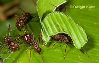 AN14-509z  Leafcutter Ants carrying leaves to nest, Atta mexicana