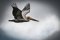 A Brown Pelican in flight at Bolsa Chica Preserve near Huntington Beach, California.