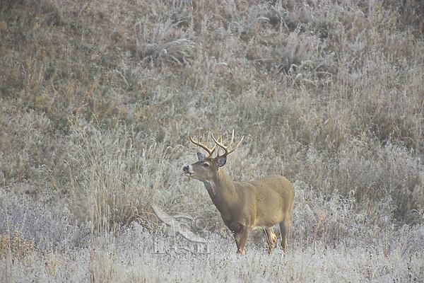 White-tailed deer (Odocoileus virginianus) buck.  Western U.S., late fall.