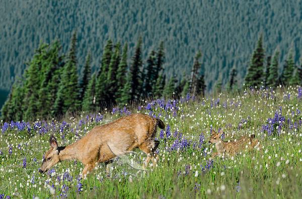 Columbian black-tailed deer (Odocoileus hemionus columbianus) doe with her young fawn among wildflowers--lupine and bistort in subalpine meadow.  Pacific Northwest.  Summer.