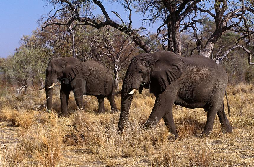 Two ELEPHANTS (Loxodonta Africana) moves through a woodland - MOREMI GAME RESERVE, OKAVANGO DELTA - BOTSWANA