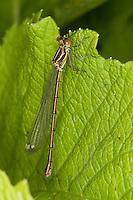 Gemeine Weidenjungfer, junges Weibchen, Chalcolestes viridis, Lestes viridis, Willow Emerald Damselfly, Binsenjungfer