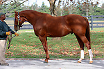 17  November  2009 Kentucky Stallions.  Curlin leans forward during a stallion show at Lane's End farm on a beautiful fall morning, with many fans and breeders looking on.  Curlin, two time horse of the year, and champion 3 year old will stand his second season at Lanes End in 2010.