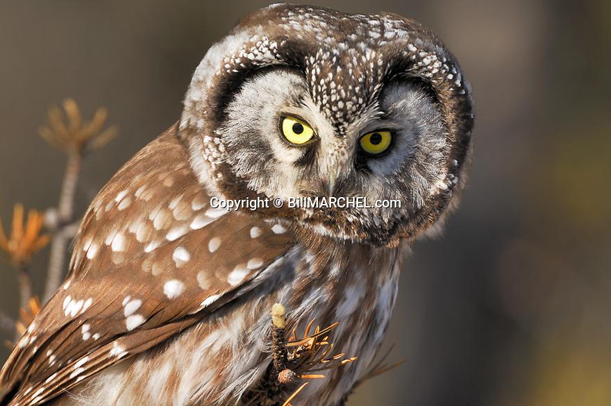 00841-011.01 Boreal Owl Aegolius funereus (DIGITAL) is hunting from a jack pine perch.  Predator, raptor, bird of prey, birding.  H7R1