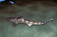 leopard shark, Triakis semifasciata (smoothhound shark, family Triakidae from California) (c)