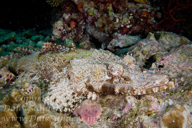Crocodile Fish( Cymbacephalus beauforti ) underwater on a coral reef off Wakatobi, Southeast Sulawesi, Indonesia.