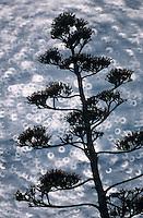 Europe/Provence-Alpes-Côte d'Azur/83/Var/Rayol-Canadel-sur-Mer: Jardin du Domaine Rayol - Détail fleur d'agave au conservatoire du littoral