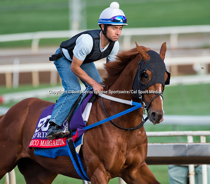 October 26, 2014:  Mico Margarita, trained by Steve Asmussen, exercises in preparation for the Breeders' Cup Xpressbet Sprint at Santa Anita Race Course in Arcadia, California on October 26, 2014. Scott Serio/ESW/CSM