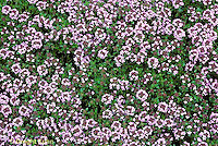 HS35-003c  Thyme - German Winter variety - Thymus vulgaris