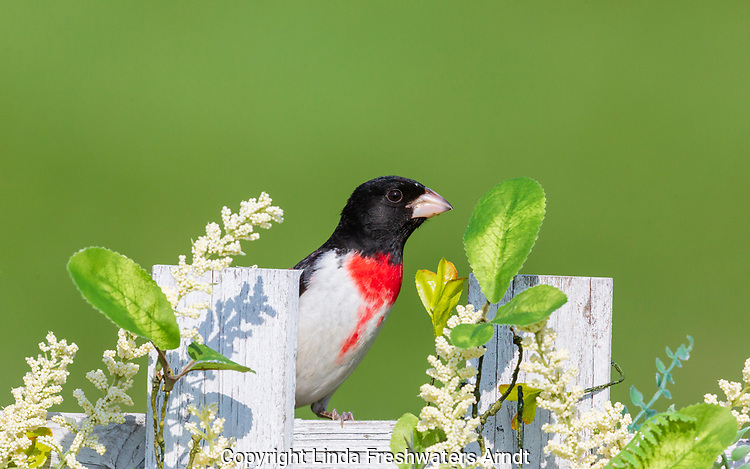 Male rose-breasted grosbeak perched on a northern Wisconsin backyard fence.