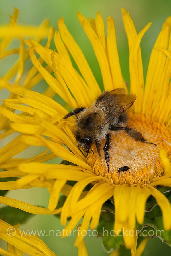 Ackerhummel, Acker-Hummel, Hummel, Bombus pascuorum, syn. Bombus agrorum, Megabombus pascuorum floralis, Blütenbesuch an Alant, Nektarsuche, Bestäubung, common carder bee