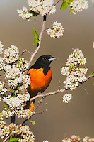 Baltimore Oriole (Icterus galbula), male,  Sinton, Corpus Christi, Coastal Bend, Texas, USA