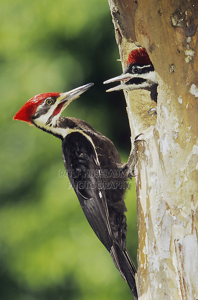 Pileated Woodpecker (Dryocopus pileatus), male feeding young in cavity, Neuse River, Raleigh, Wake County, North Carolina, USA