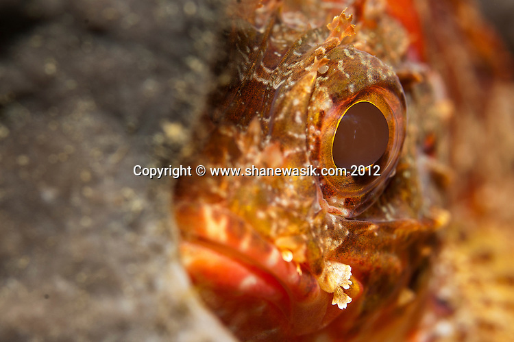 A Scorpionfish (Scorpaena cardinals) peeks out from behind a sponge - cheeky!