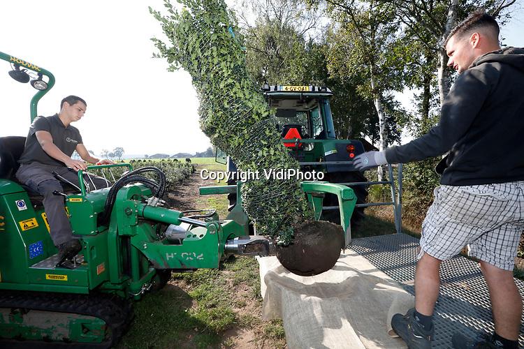 Foto: VidiPhoto<br /> <br /> DIESSEN – Bij Hendrikx Groenvormen in het Brabantse Diessen is maandag ondanks de hitte het rooiseizoen begonnen. Met een speciale rooimachine worden de eerste ilexen (aquifolium) gerooid, bestemd voor een Duitse klant. Dinsdag worden ze uitgeleverd. De nachten worden vanaf volgende week steeds kouder en dat betekent dat bomen en planten stoppen met groeien en in winterrust gaan. Dat is de bete tijd om bomen te verplaatsen. Hendrikx heeft dankzij de coronacrisis een goed voorseizoen gedraaid. Veel tuinen zijn opgeknapt of vernieuwd. De toekomst voor boomkwekers is echter onzeker omdat de sector ook afhankelijk is van de economische situatie bij particulieren. De boomkweker uit Diessen teelt op 25 ha, 25 soorten groenblijvende haagplanten.