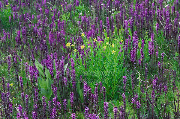 Wildflowers in alpine meadow,Elephanthead lousewort,Elephant's Head,Pedicularis groenlandica,Arrowleaf Ragwort,Senecio triangularis, Ouray, San Juan Mountains, Rocky Mountains, Colorado, USA, July 2007
