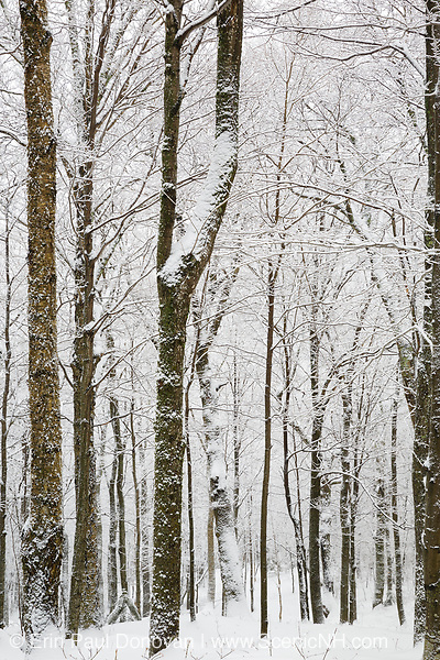 Snow-covered forest in Lafayette Brook Scenic Area in Franconia, New Hampshire after a snow storm. This area of the scenic area attracts backcountry skiers.