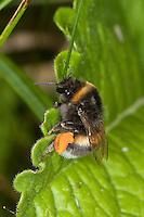 Dunkle Erdhummel, Bombus terrestris, nach Blütenbesuch mit dicken Pollenhöschen, Bestäubung, buff-tailed bumble bee