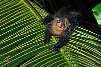 .Aye-aye (Daubentonia madagascariensis), adult at night, Mananara, Eastern Madagascar