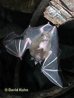 0723-0802   Seba's Short-tailed Bat taking off from roost, Carollia perspicillata © David Kuhn/Dwight Kuhn Photography,  Photography digitally repaired
