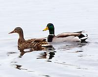 Mallard pair in breeding plumage
