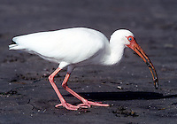 White ibis extracts crustacean from muddy sand, Florida