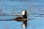 Drake hooded merganser swimming in a northern Wisconsin lake.