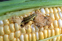 Corn earworm , Helicoverpa zea, vegetable pest garden problem