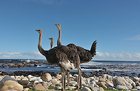 Ostriches on the beach at Cape Point National Park, South Africa.
