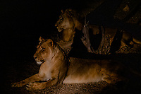 africa, Zambia, South Luangwa National Park,  lion in the night