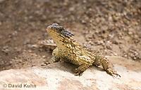 0521-1005  Sungazer Sunning Itself Outside Burrow (Giant Girdled Lizard or Giant Zonure), Cordylus giganteus  © David Kuhn/Dwight Kuhn Photography