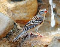 Field sparrow at fountain