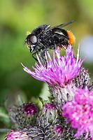 Hummel-Schwebfliege, Hummel-Waldschwebfliege, Pelzige Hummel-Schwebfliege, Hummelschwebfliege, Männchen, Volucella bombylans, Volucella bombylans var. bombylans, Bumblebee mimic hoverfly, Bumblebee-mimicking, male, la volucelle bourdon