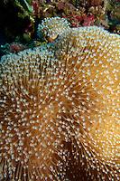 Spiky Long Polyp Leather Coral (Sarcophyton), Rango Madivaru, Ari Atoll, Maldives.