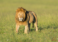 Male Lion (Panthera leo), belly full with Cape Buffalo killed overnight, gives the photographers the hundred yard stare, Masai Mara