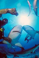 Caribbean reef shark, Carcharhinus perezii, is fed by diver wearing chain mail glove, New Providence, Bahamas, Caribbean Sea, Atlantic Ocean