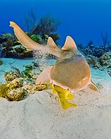 nurse shark, feeding on reef fish, Ginglymostoma cirratum, Key Largo, Florida Keys National Marine Sanctuary, Atlantic Ocean