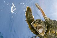 loggerhead sea turtle, Caretta caretta, juvenile, being released into the wild, Palm Beach, Florida, USA, Atlantic Ocean