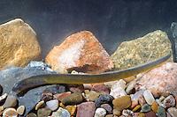 Bachneunauge, Bach-Neunauge, Larve, Larvenstadium, Querder, Neunauge, Lampetra planeri, brook lamprey, European brook lamprey, Petromyzontida, Neunaugen, Neunaugenartige, lampreys