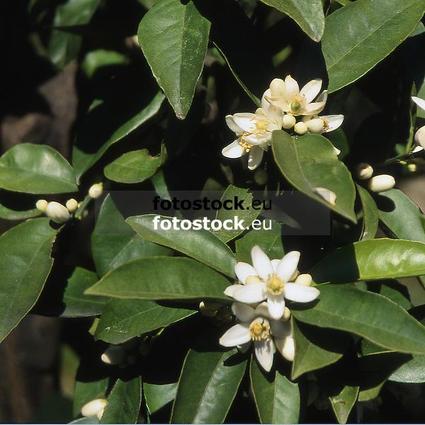 Orange blossoms<br /> <br /> Flores de naranja<br /> <br /> Orangenblüten<br /> <br /> 3441 x 3441 px (cropped)<br /> 150 dpi: ca. 58 x 58 cm<br /> 300 dpi: ca. 29 x 29 cm<br /> Original: 35mm slide transparency