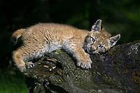 Siberian Lynx kitten (lynx lynx) sleepily lying on an old log near Kalispell, Montana, USA - Captive Animal