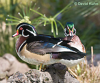 0314-1001  Pair of Drakes, Male Wood Duck (syn. Carolina Duck), Aix sponsa  © David Kuhn/Dwight Kuhn Photography.