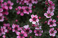 A flowering bush along the path leading to the Japanese Gardens in Hayward, California.