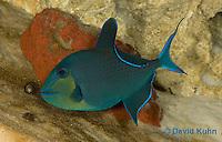 0518-1005  Niger triggerfish, Odonus niger  © David Kuhn/Dwight Kuhn Photography