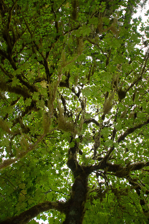 Epiphytes make themselves at home on a bigleaf maple tree's bough and branches. Location: Quinault Rain Forest Trail, Olympic National Forest, Washington, US