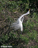 0310-0841  Great Egret Performing Breeding Dance, Displaying Breeding Plumage, Ardea alba [In Sequence with 0310-0838, 0310-0841, 0310-0844] © David Kuhn/Dwight Kuhn Photography