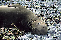 MA35-002z  Elephant Seal - juvenile - Sur Coast resting on beach - Mirounga angustirostris - © Allen Bell/Dwight Kuhn Photography