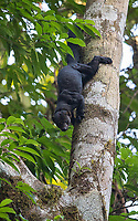 The highlight of my trip was seeing this male tayra in Corcovado. I've actually seen more pumas than tayras during my Costa Rica visits, and this was a longer encounter with this strong and muscular member of the weasel family.